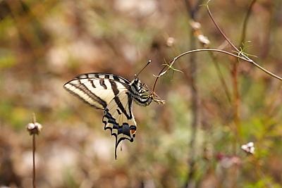 Sưu tập Bộ cánh vẩy 2 - Page 60 Papilio%20alexanor_33902W